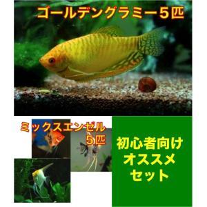 【初心者向け安心セット】ゴールデングラミー3匹・MIXエンゼル3匹 セット mame-store