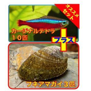 【初心者向け安心セット】カージナルテトラ10匹・フネアマガイ3匹 セット|mame-store