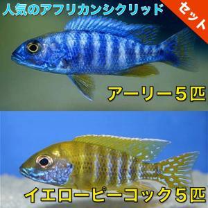 【熱帯魚・アフリカンシクリッドセット】アーリー5匹(4cm前後)+イエローピーコック5匹(5cm前後)|mame-store