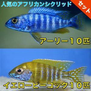 【熱帯魚・アフリカンシクリッドセット】アーリー10匹(4cm前後)+イエローピーコック10匹(5cm前後)|mame-store