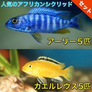 【熱帯魚・アフリカンシクリッドセット】アーリー5匹(4cm前後)+カエルレウス5匹(4cm前後)|mame-store