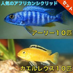【熱帯魚・アフリカンシクリッドセット】アーリー10匹(4cm前後)+カエルレウス10匹(4cm前後)|mame-store