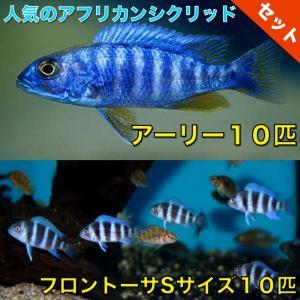 【熱帯魚・アフリカンシクリッドセット】アーリー10匹(4cm前後)+フロントーサ10匹(3cm前後)|mame-store