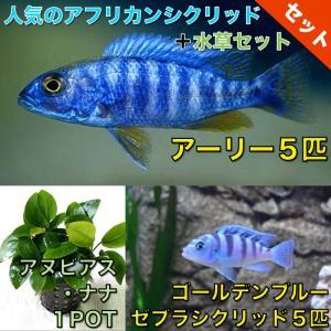 【熱帯魚・アフリカンシクリッドセット】アーリー5匹(4cm前後)+ゴールデンブルーゼブラ5匹(3cm前後)+水草|mame-store