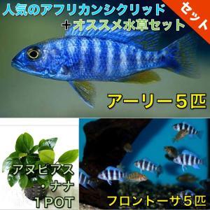 【熱帯魚・アフリカンシクリッドセット】アーリー5匹(4cm前後)+フロントーサ5匹(3cm前後)+水草|mame-store