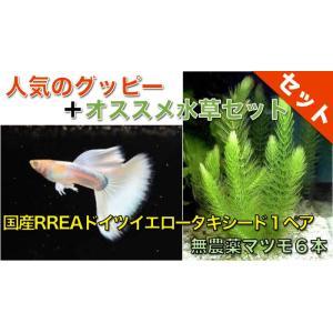 【熱帯魚・グッピー水草セット】国産RREAドイツイエロータキシードグッピー(1ペア)+無農薬マツモ6本|mame-store