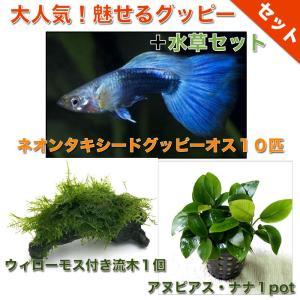 【熱帯魚・グッピー水草セット】ネオンタキシードグッピー(10匹)+ウィローモス付き流木(1個)+アヌビアス・ナナ1pot|mame-store