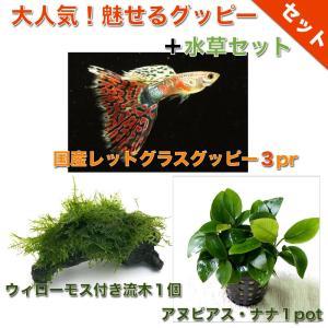 【熱帯魚・グッピー水草セット】国産レッドグラスグッピー(3pr)+ウィローモス付き流木(1個)+アヌビアス・ナナ1pot|mame-store