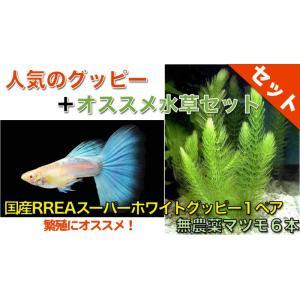 【熱帯魚・グッピー水草セット】国産RREAスーパーホワイトグッピー(1ペア)+無農薬マツモ6本|mame-store