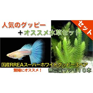 【熱帯魚・グッピー水草セット】国産RREAスーパーホワイトグッピー(3ペア)+無農薬マツモ10本|mame-store
