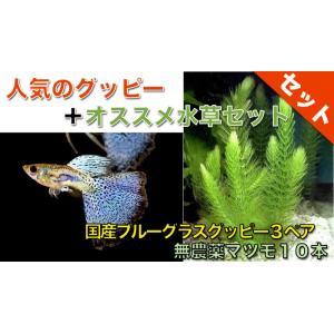 【熱帯魚・グッピー水草セット】国産ブルーグラスグッピー(3ペア)+無農薬マツモ10本|mame-store