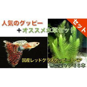【熱帯魚・グッピー水草セット】国産レッドグラスグッピー(1ペア)+無農薬マツモ6本|mame-store