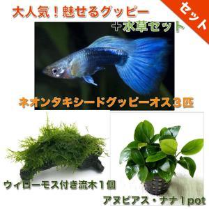 【熱帯魚・グッピー水草セット】ネオンタキシードグッピー(3匹)+ウィローモス付き流木(1個)+アヌビアス・ナナ1pot|mame-store