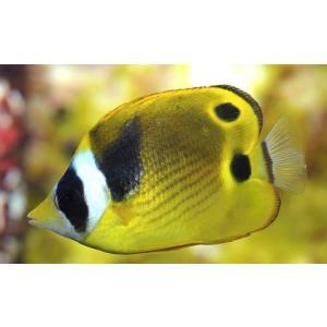 (海水魚・チョウチョウウオ) チョウハン 5cm± 3匹|mame-store