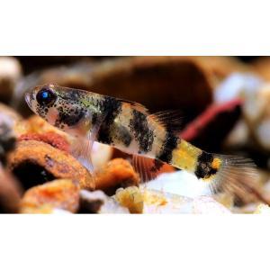 (熱帯魚・古代魚) バンブルビーゴビー (バンブルビーフィッシュ) SMサイズ 3匹 mame-store