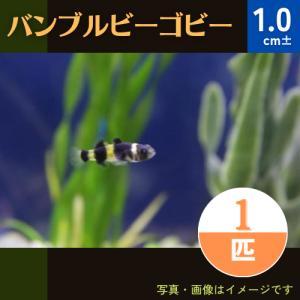 (熱帯魚・古代魚) バンブルビーゴビー (バンブルビーフィッシュ) SMサイズ 10匹|mame-store