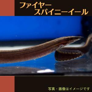 【熱帯魚】ファイヤースパニイール 8cm± 1匹|mame-store