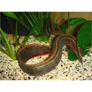 【熱帯魚】ファイヤースパニイール 8cm± 2匹|mame-store