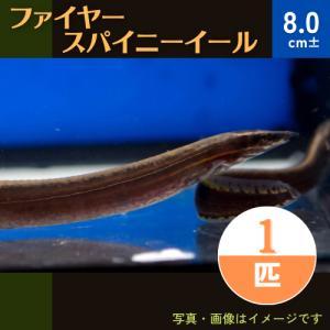 【熱帯魚】ファイヤースパニイール 8cm± 3匹|mame-store