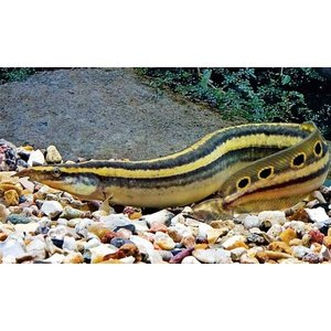 【熱帯魚】ピーコックスパイニーイール 11cm± 1匹|mame-store