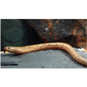 【熱帯魚】アナコンダシンブランクス 14cm± 1匹|mame-store
