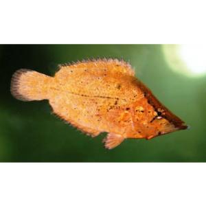 (熱帯魚・汽水魚・その他) リーフフィッシュ 5cm±2匹|mame-store