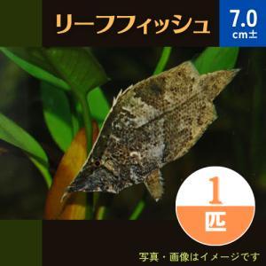 (熱帯魚・汽水魚・その他) リーフフィッシュ 5cm±  3匹|mame-store