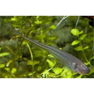 (熱帯魚・汽水魚・その他) グリーンナイフフィッシュ 12cm±  1匹 mame-store