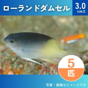 (海水魚・スズメダイ) ローランドダムセル  3cm± 5匹 mame-store