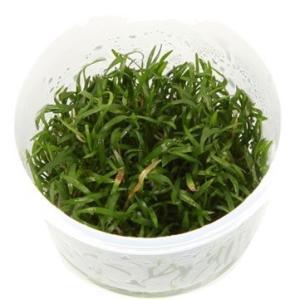 (Tropica・水草)  ブラジリアン・コブラグラス 1・2・grow!(tropicaトロピカ) 1カップ|mame-store