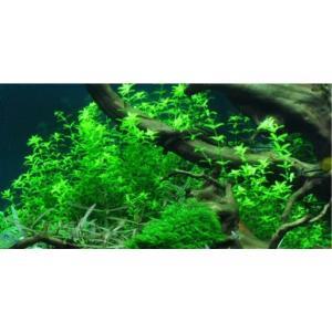 (Tropica・水草)  パールグラス 1・2・grow!(tropicaトロピカ) 1カップ ※水上葉|mame-store