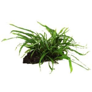 (Tropica・水草) ミクロソリウムナロー付き流木 1個|mame-store