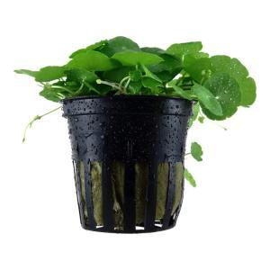 (Tropica・水草) ウォーターマッシュルームミニ(1POT)|mame-store