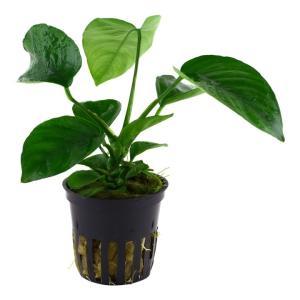(Tropica・水草) アヌビアスバルテリーコーヒーフォリア(1POT)|mame-store