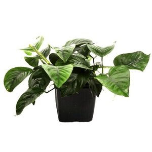 (Tropica・水草) アヌビアスバルテリーカラディフォリア1705 XLポット(1POT)|mame-store