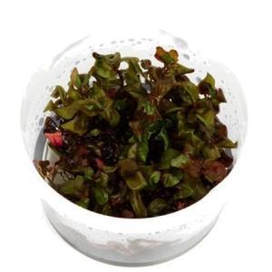 (Tropica・水草) ロタラマクランドラ1・2・grow!(tropicaトロピカ) 1カップ|mame-store
