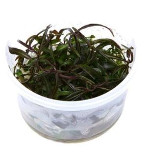 (Tropica・水草) ハイグロSP アラグアイ 1・2・grow!(tropicaトロピカ) 1カップ|mame-store
