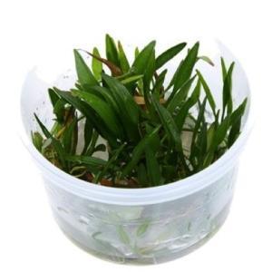 (Tropica・水草) エキノドルステネルスSPグリーン 1・2・grow!(tropicaトロピカ) 1カップ|mame-store