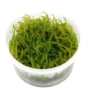 (Tropica・水草) ウィーピングモス 1・2・grow!(tropicaトロピカ) 1カップ|mame-store