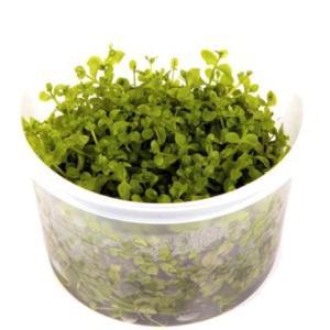 (Tropica・水草) ニューラージパールグラス 1・2・grow!(tropicaトロピカ) 1カップ|mame-store