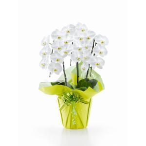 大輪 胡蝶蘭 3本立ち 21輪以上【送料無料】花 ギフト お歳暮 開業祝 開店祝 移転祝い お誕生日 各種ギフト お供えに maruhana-flower