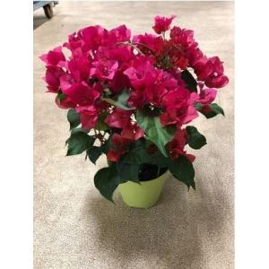 鉢植え ブーゲンビリア/ブーゲンビレア 5号 【送料無料】夏 花 ギフト 開業祝 開店祝 移転祝い お誕生日 各種ギフト お供えに|maruhana-flower