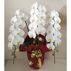 大輪 胡蝶蘭 3本立ち 36輪以上【送料無料】花 ギフト お歳暮 開業祝 開店祝 移転祝い お誕生日 各種ギフト お供えに maruhana-flower
