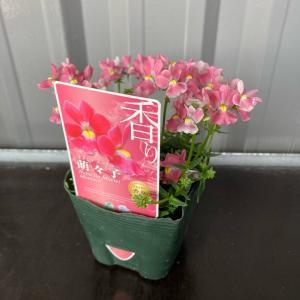宿根ネメシア メーテル モモコ 萌々子3.5号ポット 1個【送料別】|maruhana-flower