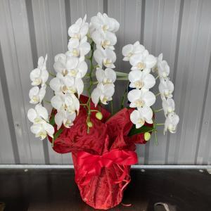胡蝶蘭 中輪 アマビリス 3本立ち テーブル胡蝶蘭【送料無料】花 ギフト 開業祝 開店祝 移転祝い お誕生日|maruhana-flower
