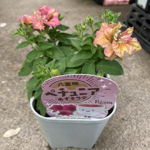 ペチュニア『アズキラテ』3.5号ポット【送料別】|maruhana-flower