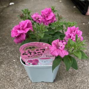 八重咲きペチュニア『チェリーラテ』3.5号ポット【送料別】|maruhana-flower