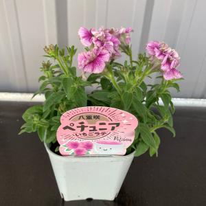 八重咲きペチュニア『いちごラテ』3.5号ポット【送料別】|maruhana-flower