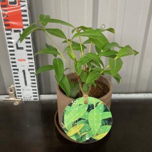 鉢植えレモンマートル(バックホウシア)5号陶器鉢【送料無料】高さ約30cm|maruhana-flower