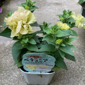 八重咲きペチュニア『バニララテ』3.5号ポット【送料別】|maruhana-flower